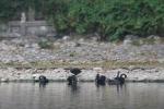 Số phận đàn thiên nga ở hồ Thiền Quang giờ ra sao?