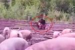 Clip: Gấu mò vào trang trại, xé xác lợn
