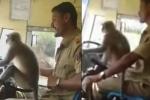 Clip: Để khỉ lái xe buýt suốt quãng đường dài, tài xế bị đình chỉ