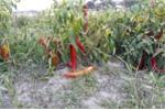 Doanh nghiệp 'bội tín' bà con trồng ớt: Đòi hạ giá một nửa mới thu mua