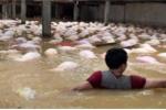 Thanh Hóa: Bất lực nhìn gần 4.000 con lợn chết đuối trong trại nuôi ngập lụt