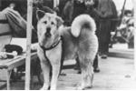 Chuyện chú chó trung thành nhất thế giới lay động triệu con tim