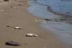 Thiếu oxy, cá chết trắng sông ở Đà Nẵng