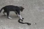 Clip: Mèo nhà tung 'miêu quyền' đánh rắn bỏ trốn trối chết
