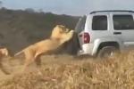 Clip: Sư tử đực đu bám ô tô đòi đi nhờ