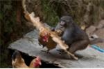 Đã bắt được khỉ lạ tấn công phụ nữ, giết gà của người dân Quảng Bình