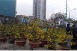 Mai vàng miền Nam giá chục triệu tràn ngập chợ hoa Tết Hà Nội