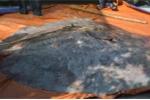 Ngư dân miền Tây bắt được cá lạ nặng 220 kg, 100 năm mới thấy 1 lần
