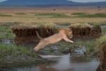 Lao vào bầy 20 con linh cẩu, sư tử suýt mất mạng