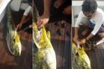 Mổ bụng 'quái cá', phát hiện 32 con rùa bên trong