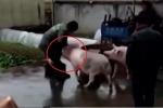 Lợn tấn công người, cứu đồng loại sắp bị giết thịt