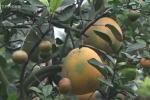 Video: Lão nông ghép 11 loại quả trên cây bưởi, kiếm hơn nửa tỷ đồng/năm
