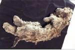 Kinh ngạc tìm thấy xác sư tử con vẫn còn nguyên vẹn sau 50.000 năm