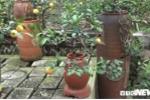 Trồng chanh bonsai bằng đậu tương thu hàng tỷ đồng dịp Tết