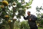 Video: Lão nông trồng cây 11 loại quả bán dịp Tết thu nửa tỷ mỗi năm ở Hà Nội