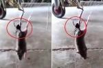 Clip: Nhện góa phụ đen kịch độc giăng tơ kết liễu chuột