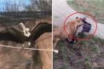 Clip: Sà xuống chuồng sư tử, kền kền bị xé xác chết thảm