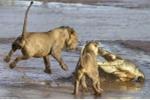 Đàn sư tử tấn công cá sấu hung dữ giành miếng ăn