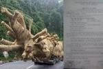Cây 'quái thú' vi vu trên quốc lộ ở Huế: Chủ nhân cây xuất trình hồ sơ khai thác