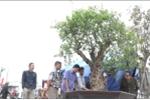 Cận cảnh cây thạch lựu 300 năm tuổi đường kính lớn nhất Việt Nam giá tiền tỷ