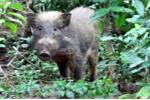 Clip: Loài lợn xấu và hiếm nhất hành tinh