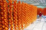 Hồng sấy kiểu Nhật giá nửa triệu đồng/kg