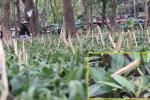 Cắm cọc tre nhọn hoắt bảo vệ vườn hoa Hà Nội