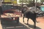 Clip bò mẹ chạy theo xe tải chở bê con đi viện khiến người xem rơi lệ
