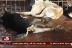 Chó có dấu hiệu ốm bệnh nằm giãy giụa trong lò giết mổ siêu bẩn