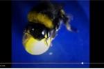 Video: Kinh ngạc trước khả năng chơi bóng của ong vò vẽ