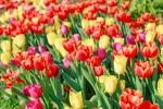 Lang phi ca mua xuan neu khong toi vuon tulip lon nhat Viet Nam nay hinh anh 5