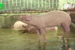 Nông dân Hà Nội cho lợn nghe nhạc Pháp để nâng cao chất lượng thịt