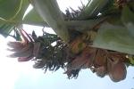 Dân Thanh Hóa đổ xô đi xem cây chuối trổ 21 hoa