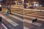 Clip chú chó sang đường khiến nhiều người xem xấu hổ