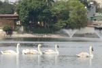 Người tặng 12 con thiên nga thả hồ Hoàn Kiếm từng bị khởi tố