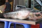 Ảnh: Cá trắm 'khủng' nặng 42kg từ Yên Bái về Hà Nội