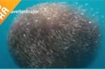 Video: Cá mập bị đàn cá khổng lồ 'nuốt chửng'