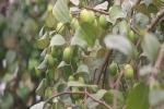 Hà Nội: Bỏ 15.000 đồng ăn táo thả ga ngay tại vườn
