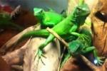 Lạ với thú nuôi 'tiểu khủng long' của giới trẻ Hà Nội