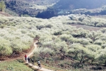 Video: Ngẩn ngơ ngắm hoa mận bung nở trắng trời Mộc Châu