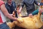 Lào Cai: Xẻ thịt trâu, nghé chết rét bán la liệt trên quốc lộ