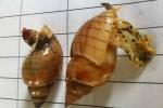 Video: Loài ốc độc như cá nóc, ăn vào chết ngay lập tức