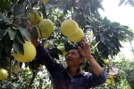 Vườn bưởi Phúc Trạch 8.000 quả hiếm có, lão nông thu 300 triệu đồng