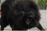 Chó ngao Tây Tạng cắn chết người ở Hà Nội: Tiết lộ nguyên nhân trẻ thường bị chó tấn công