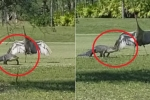 Clip: Sếu trống cả gan chặn cá sấu trên sân golf và lý do khiến ai cũng cảm động