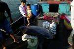 Ngư dân Huế câu được cá hiếm, nặng 32 kg