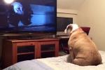 Chú chó quá 'nhập tâm' khi xem phim kinh dị khiến dân mạng phì cười