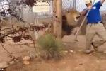 Sư tử gầm rú khiến người quản thú khiếp vía