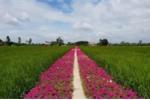Clip: Con đường hoa đẹp như tiên cảnh ở Tiền Giang gây sốt