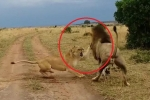 Clip: Bị đánh thức khi đang say ngủ, sư tử cái lồng lộn đòi đánh sư tử đực
